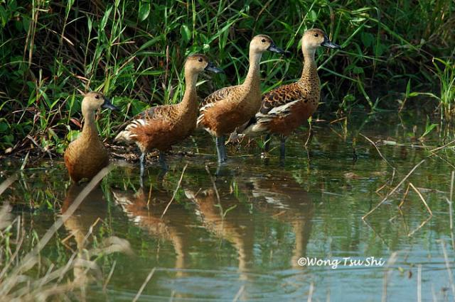 image 713 of Wandering Whistling-duck