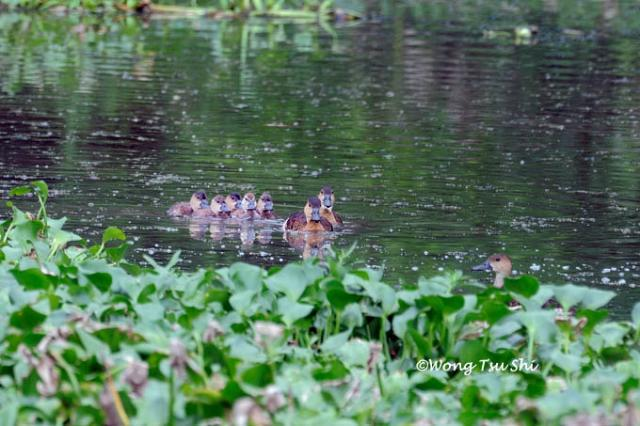 image 805 of Wandering Whistling-duck