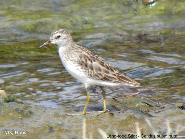 image 5565 of Long-toed Stint