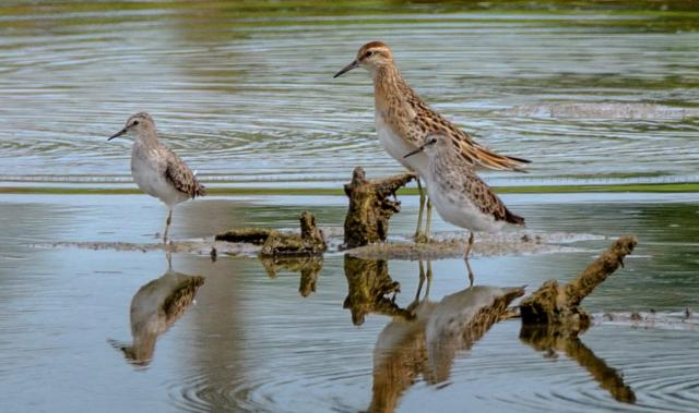 image 7873 of Sharp-tailed Sandpiper