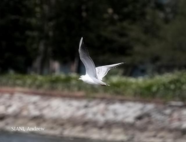 image 3045 of Black-headed Gull