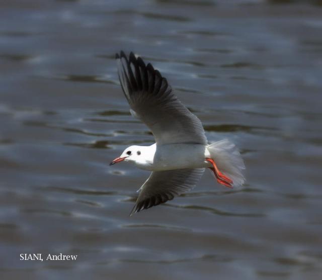 image 3046 of Black-headed Gull