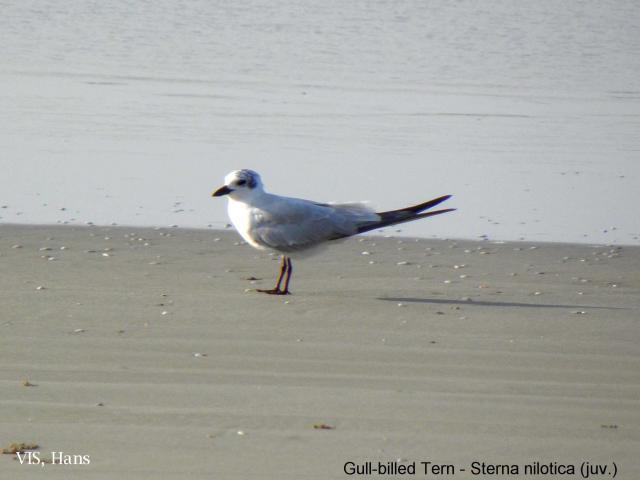 image 5571 of Gull-billed Tern