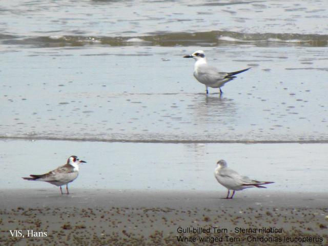 image 5576 of Gull-billed Tern