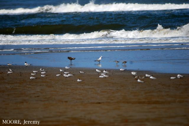 image 4680 of Gull-billed Tern