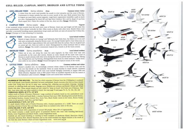 image 2615 of Gull-billed Tern