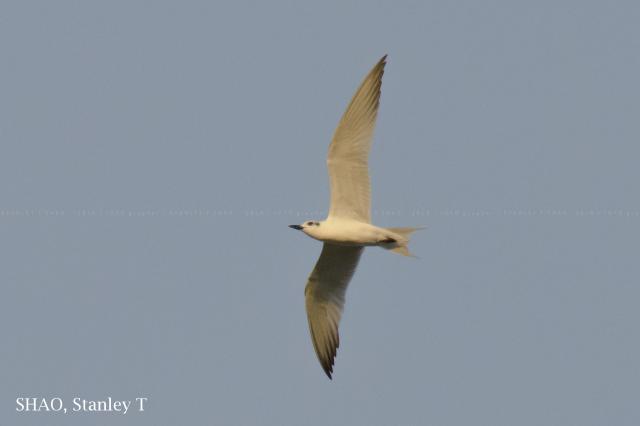 image 7750 of Gull-billed Tern
