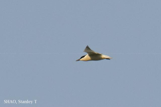 image 7749 of Gull-billed Tern