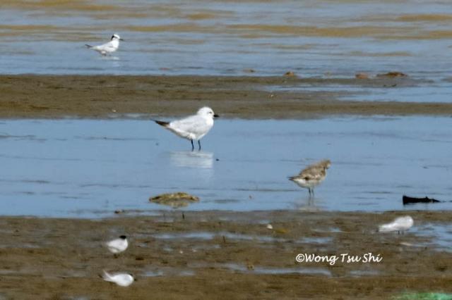 image 854 of Gull-billed Tern