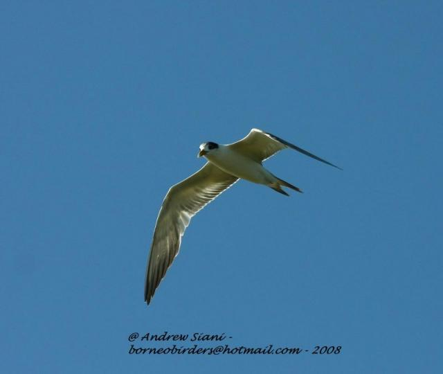 image 3050 of Greater Crested Tern