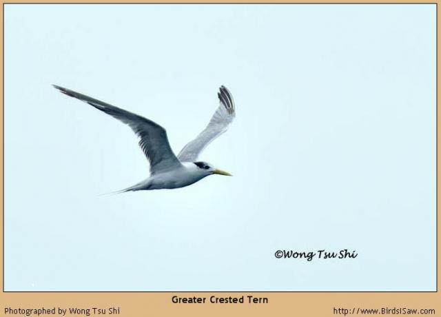 image 1270 of Greater Crested Tern