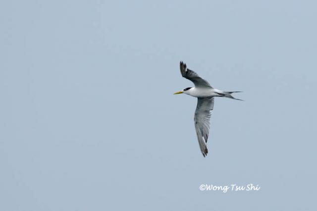 image 856 of Greater Crested Tern