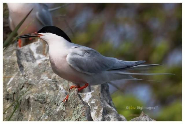 image 7367 of Roseate Tern