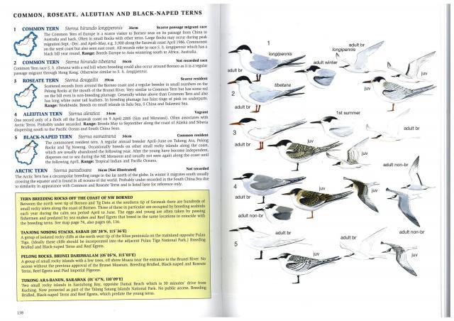 image 2620 of Roseate Tern