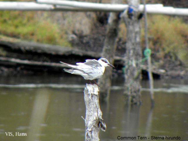 image 5727 of Common Tern