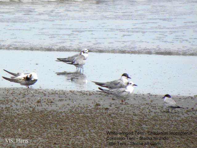 image 5725 of Common Tern