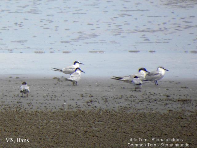 image 5724 of Common Tern
