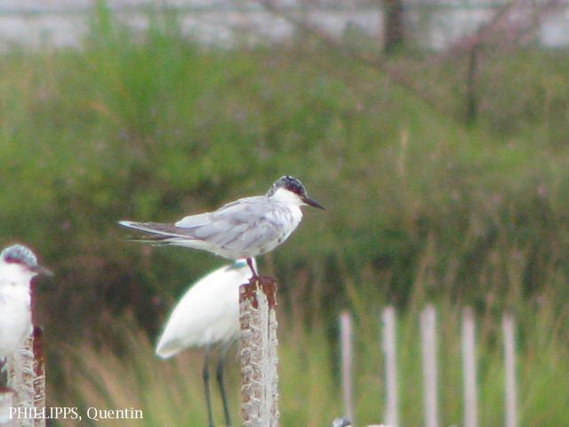 image 1563 of Common Tern