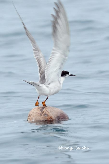image 857 of Common Tern