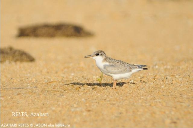 image 6433 of Little Tern