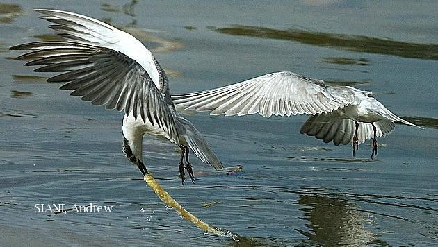 image 3060 of Little Tern