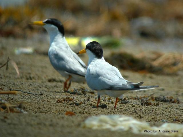 image 3941 of Little Tern