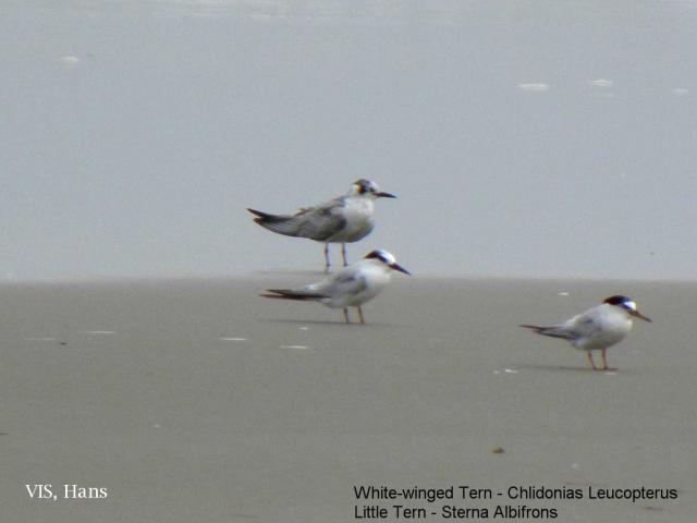 image 5580 of Little Tern