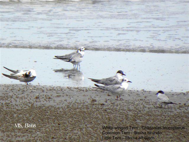 image 5672 of Little Tern