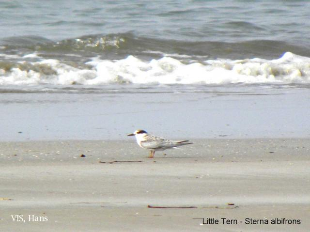 image 5579 of Little Tern