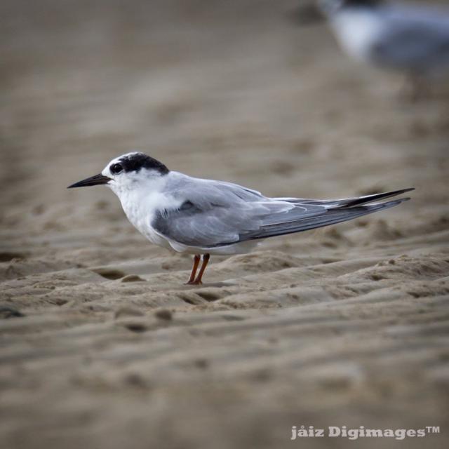 image 7357 of Little Tern