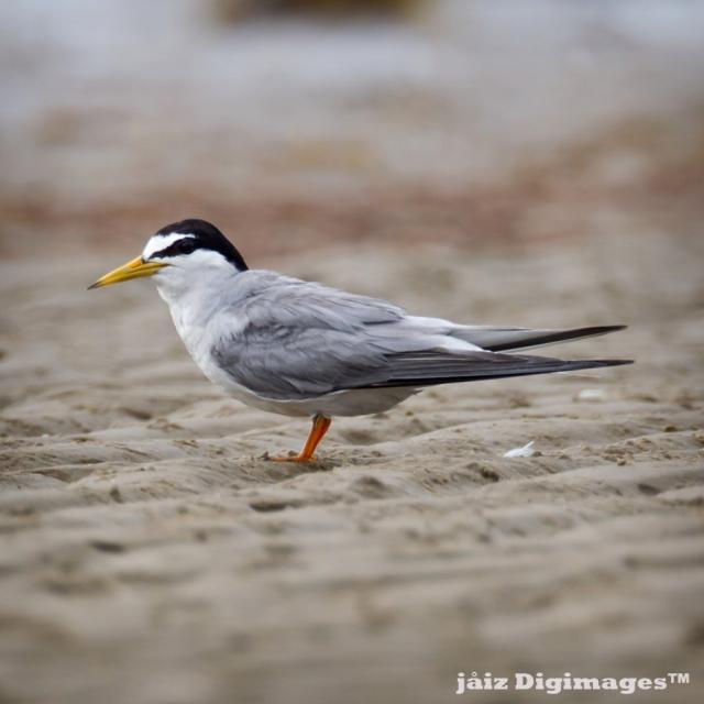 image 7356 of Little Tern