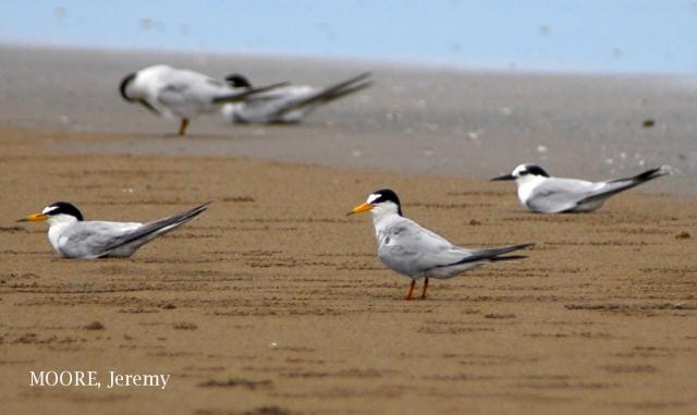 image 4683 of Little Tern