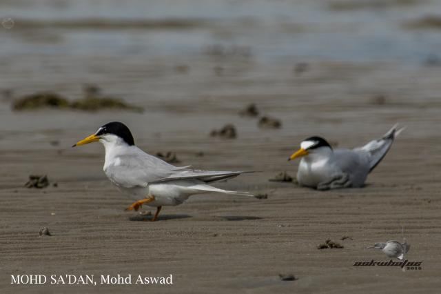 image 7279 of Little Tern