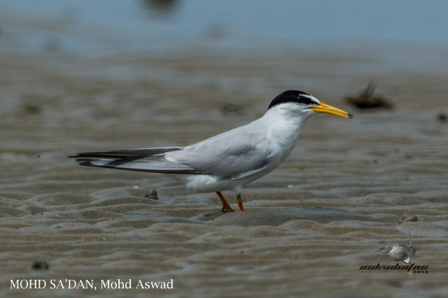 image 7280 of Little Tern