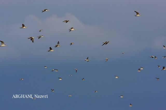 image 4758 of Little Tern