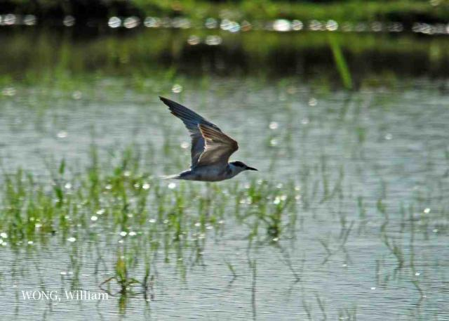 image 7075 of Whiskered Tern