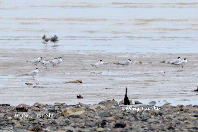image 6151 of Little Tern