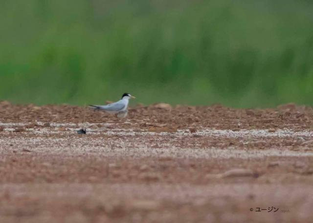 image 8252 of Little Tern