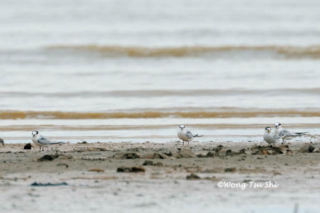 image 604 of Little Tern