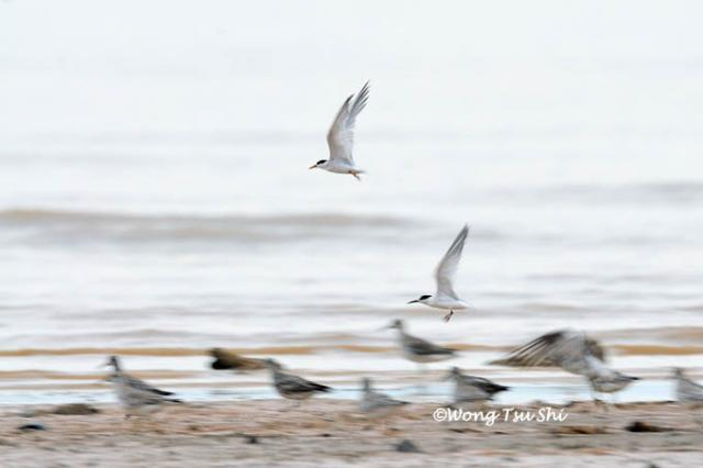 image 605 of Little Tern