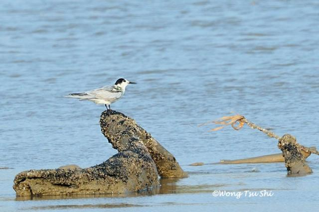 image 6152 of Little Tern