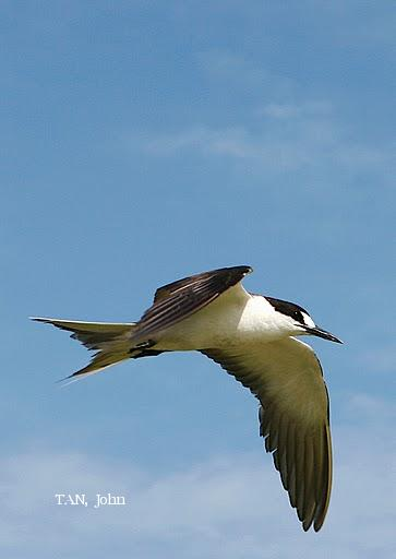 image 2035 of Sooty Tern