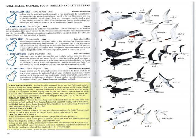image 2617 of Sooty Tern