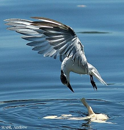 image 3061 of Whiskered Tern