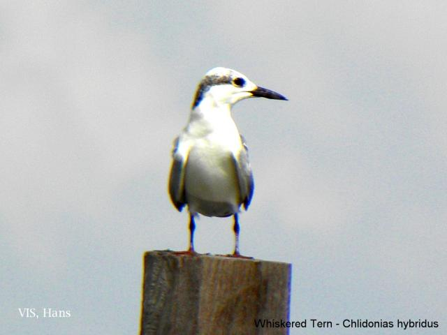 image 5731 of Whiskered Tern