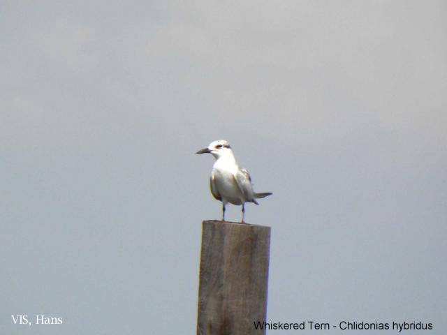 image 5583 of Whiskered Tern