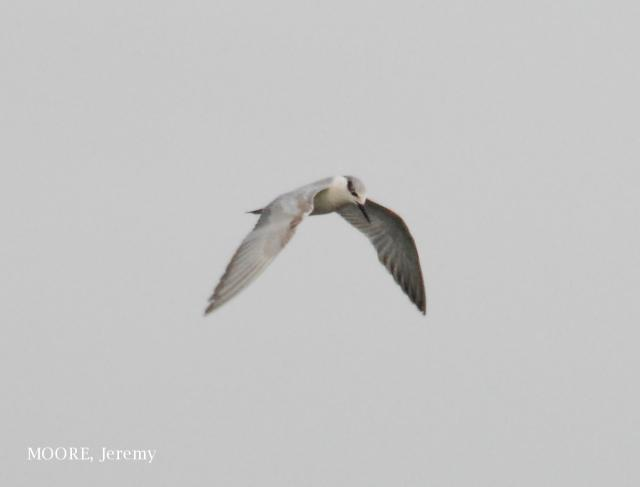 image 4676 of Whiskered Tern