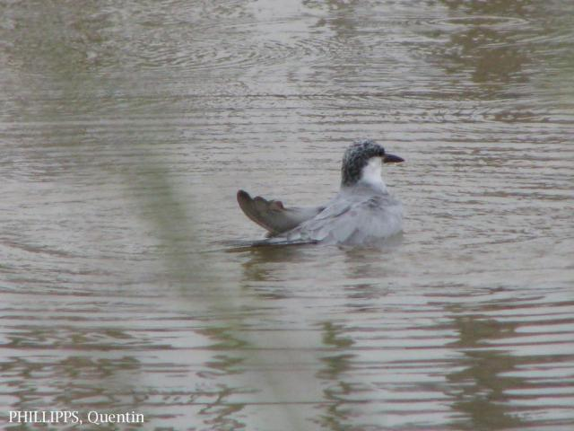 image 6094 of Whiskered Tern