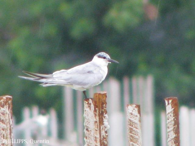 image 1567 of Whiskered Tern