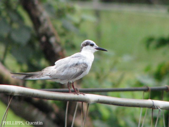 image 1571 of Whiskered Tern